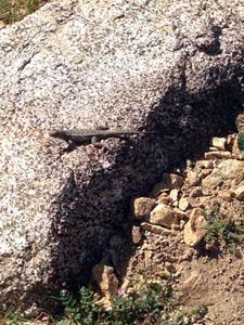 green lizard sunning on a grey boulder