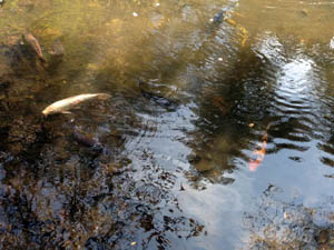 fish gliding through rippling water
